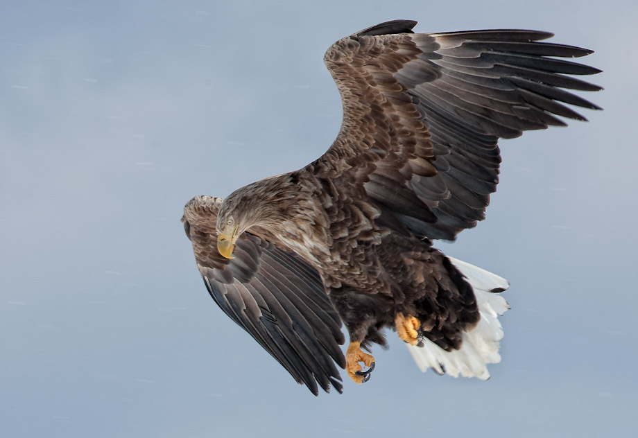 White Tailed Eagle - Landing